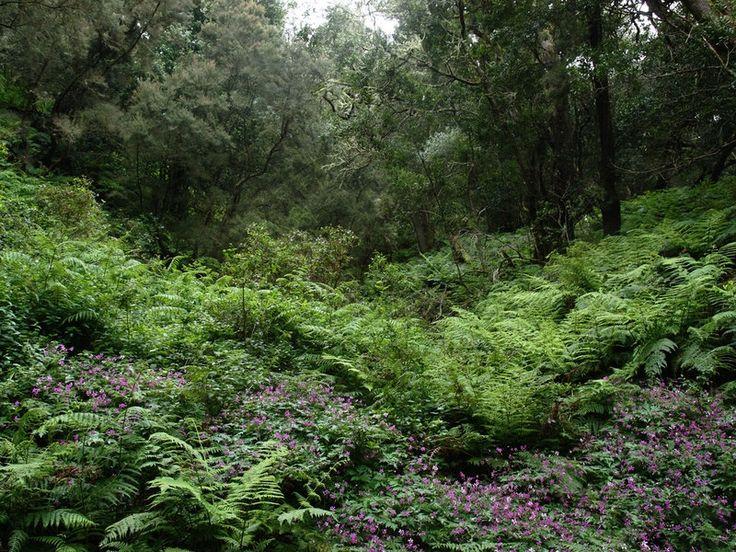 Lasy wawrzynowe ( Fayal – Brezal) – Kierunek Teneryfa