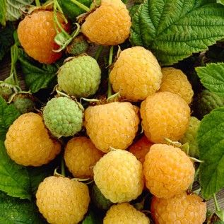 Raspberry Kiwi Gold                  5.0        Read 4 Reviews    Write a Review                                   Known for its extremely sweet flavor, this yellow raspberry was developed in New Zealand but is now a favorite worldwide. Fruits in summer and fall. (Rubus idaeus)                 Bareroot Plant - 2 years old         $20.95     Sale: $15.71