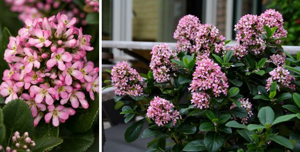 "Escallonia ""Pink Elle"".  Plants Management Australia Pty Ltd"
