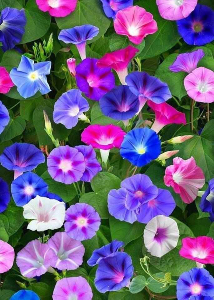 Morning Glories Https Www Facebook Com Flowersmeltmyheart Photos A 108315836379555 453852515159217 Ty Morning Glory Flowers Flowers Nature Beautiful Flowers