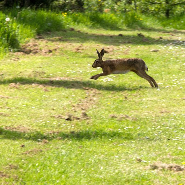 Hare, Thenford Arboretum by David P Howard, via Geograph