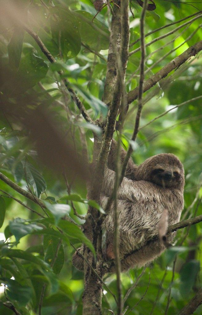 Que voir au Costa Rica. Que faire de sympa par région (Detour Local) -> Un paresseux dans le parc de Manuel Antonio www.detourlocal.com/que-voir-au-costa-rica-itineraire-region/