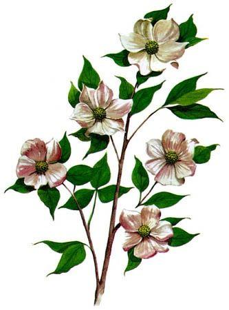 British Columbia Provincial Flower