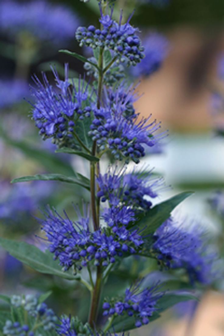 Dark Knight Blue Beard (60cm high & wide) A small flowering shrub with abundant mauve-blue flower clusters from August to frost. Grows in sun to light shade. Canadale Nurseries Ltd.