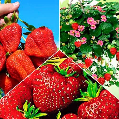 Sadzonki truskawek - Dom i Sad, najlepsze sadzonki Truskawek, truskawki pyszne, internetowy sklep ogrodniczy, #domisad