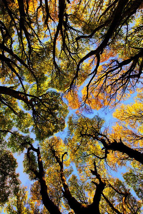 Lenga Trees in Argentina