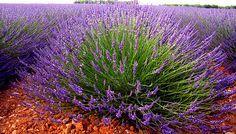 Jaké má levandule účinky? Jak se pěstuje a stříhá aby kvetla? Více zde...