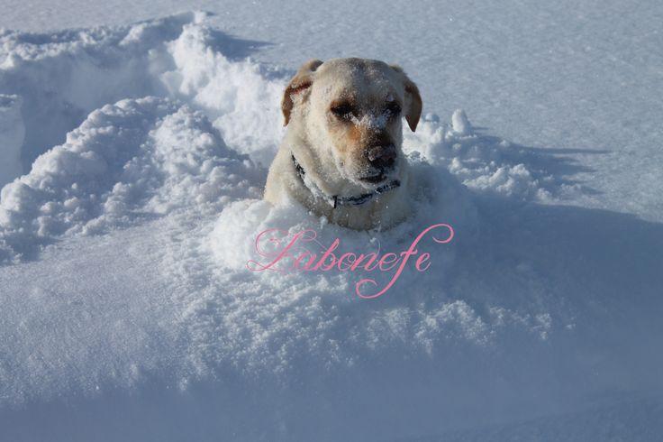 #лабрадор #собака #dog #labrador #лучшийдруг #животные #лабрадор_ретривер #labrador_retriver #испания #spain #pirineos #snow #nieve #winter #invierno #españa