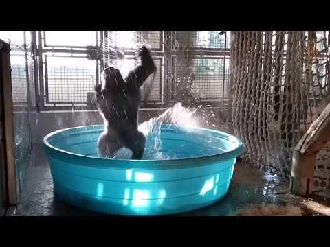 awesome Dallas Zoo Gorilla Breakdances in Pool like Flashdance