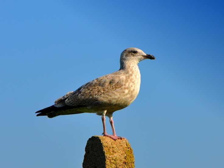 Juvenile Herring Gull (I believe) taken in Cairnbulg, Aberdeenshire in September 2011.
