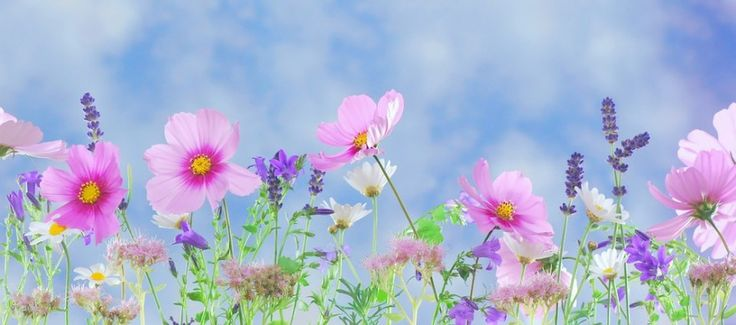 Blue, Cosmea, Daisies, Flower Garden, Flowers, Free Images, Free Photos, Garden, Green, Lavender, Macro, Meadow, Nature, Panorama, Pink, Pink Flower, Plant, Purple, Spring, Summer, White, Wild Flowers, Yellow | Image Finder