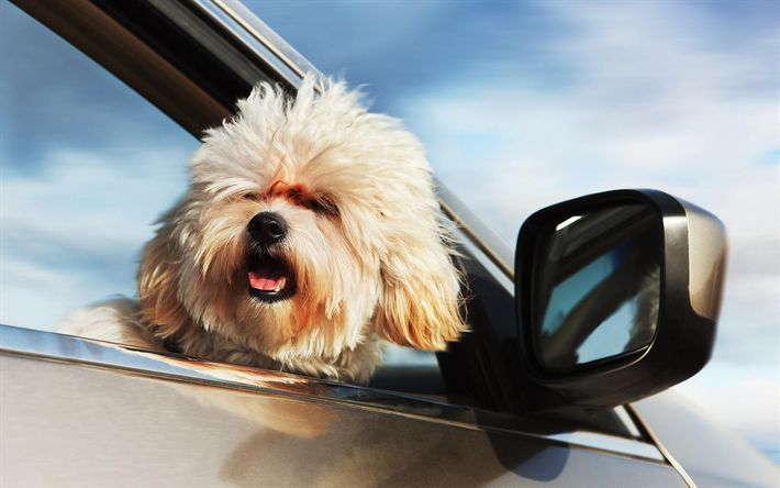 Download wallpapers Bichon Frise, cute fluffy dog, furry puppy, dog, cute animals