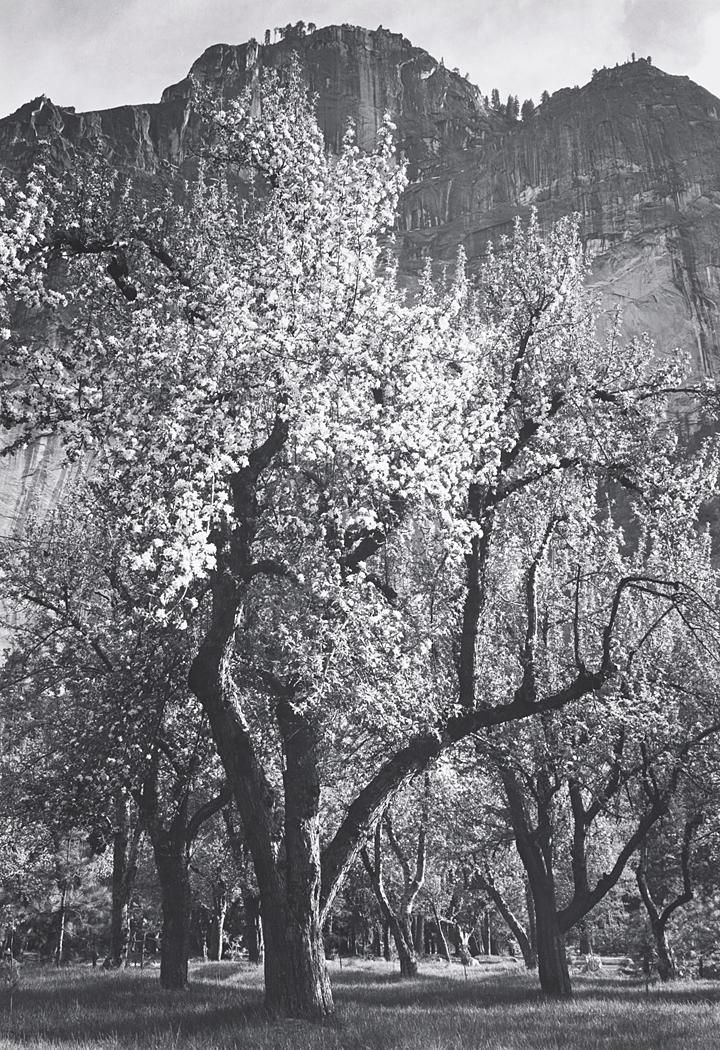 1938 glacier point spring apple blossoms by ansel adams