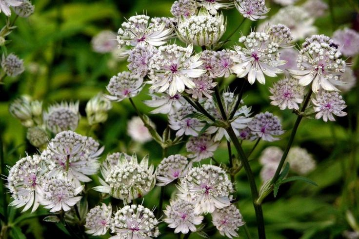 astrantia_major.jpg (1024×682)