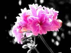 Los geranios son una planta con importantes características ornamentales, sus flores son muy bellas y pueden alegrar nuestros jardines. El cultivo de esta planta es fácil de desarrollar, sin embargo, es necesario tener ciertas nociones sobre el cuidado de los geranios.