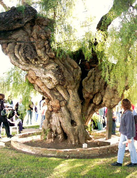 Oceanside, CA : San Luis Rey Mission - state's oldest pepper tree