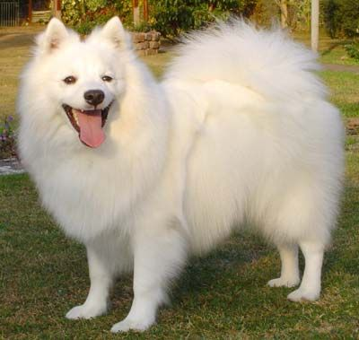 The Japanese Spitz is a small, completely white breed of dog that is thought to have been bred from the Siberian Samoyed for smallness beginning in the late 19th century in Japan. Description from petsunlimited.com. I searched for this on bing.com/images
