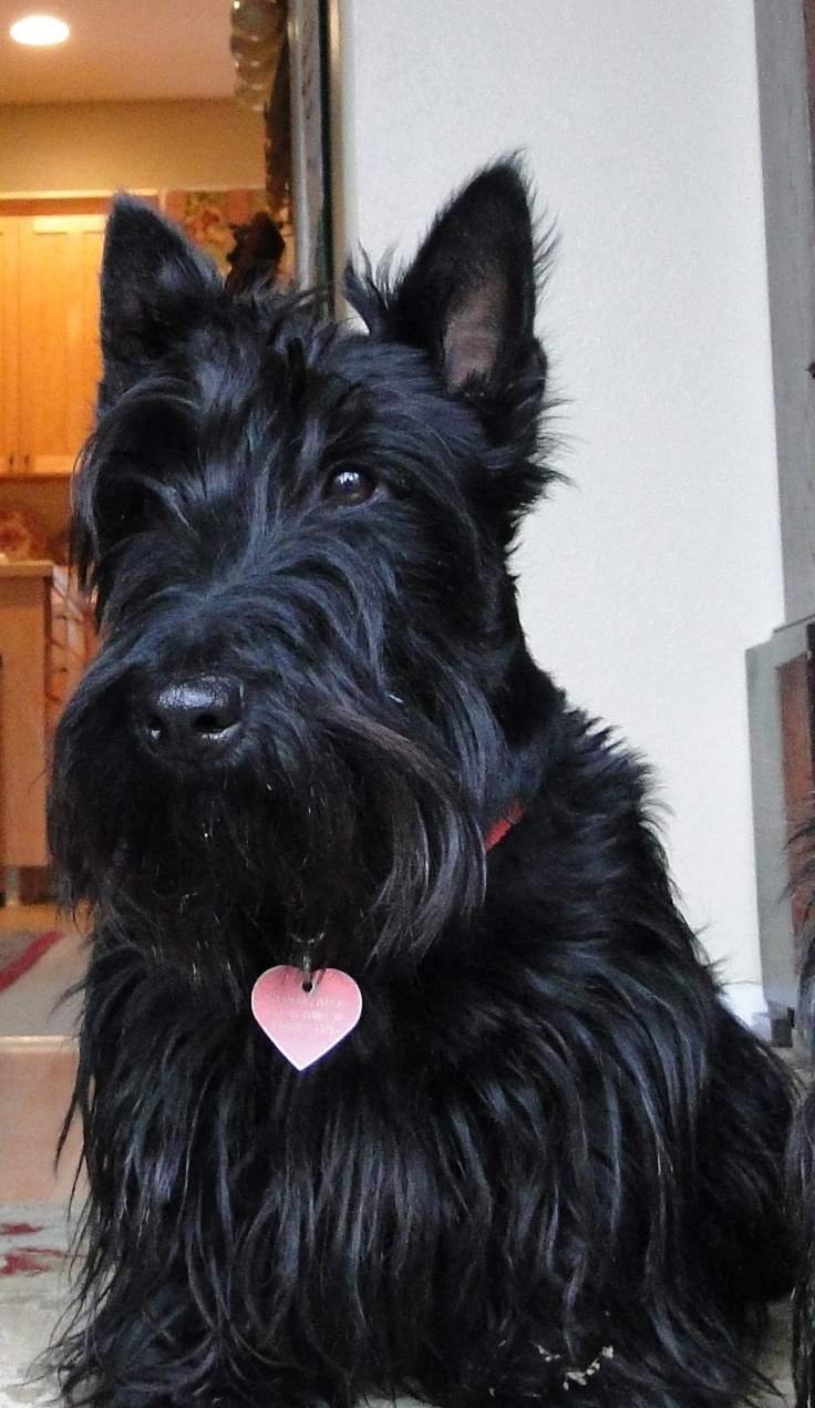 Precious Margaret O'Malley (aka Maggie) our 4 year old Scottish Terrier