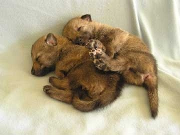 cuccioli di lupo