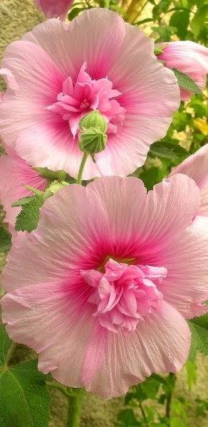 Hollyhocks at their best! Love old fences; sunshine; do not need a lot of water... oh and they come in lots of colors...easy,easy