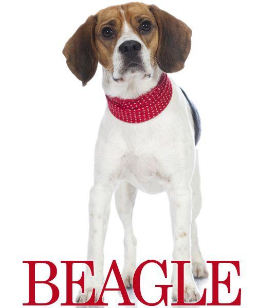 THE BEAGLE - #beagle #hunde #hvalpe #hunderacer