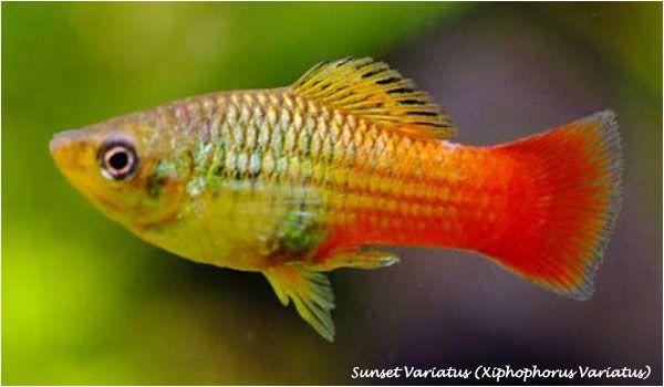 Fish Aquarium Com Nbspthis Website Is For Sale Nbspfish Aquarium Resources And Information Peces