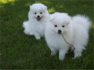 Toy American Eskimo Dogs and Puppies for Sale https://pagez.com/3532/33-facts-about-dogs