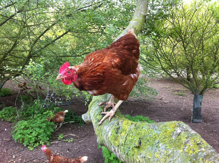 A photo from one of our Lincolnshire based farmers of one of his girls out enjoying the range, perching and relaxing on one of the farm's trees  http://thehappyegg.co.uk
