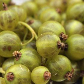Johannisbeere Vilma (Pflanze)  Ribes nigrum Vilma hat die größten Beeren der grünen Sorten. Vögel erkennen die Früchte übrigens nicht als reif und essbar, was einen entscheidenden Vorteile darstellt. Und wann sind sie nun erntereif? Wenn die Frucht sich von grasgrün in ein ganz leichtes gelblichgrün umfärbt. Muss man einmal gesehen haben und dann ist es auch klar. Die Früchte tendieren nicht zur Säure, sie sind süß, knackig, spritzig. Eben sehr lecker.