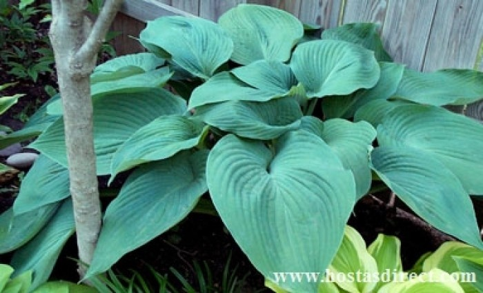 17 best images about hostas on pinterest plants sun and blue hosta. Black Bedroom Furniture Sets. Home Design Ideas