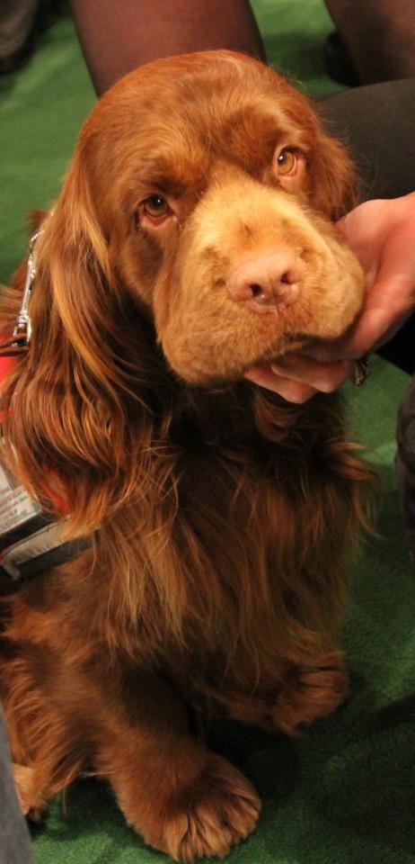 Sussex Spaniel. What a beautiful dog!