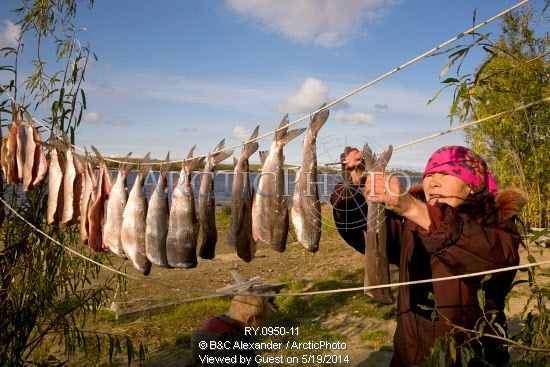 Image of lidiya, a khanty woman, hanging up broad whitefish to dry at a camp on the river ob. yamal, western siberia, russia. by ArcticPhoto...