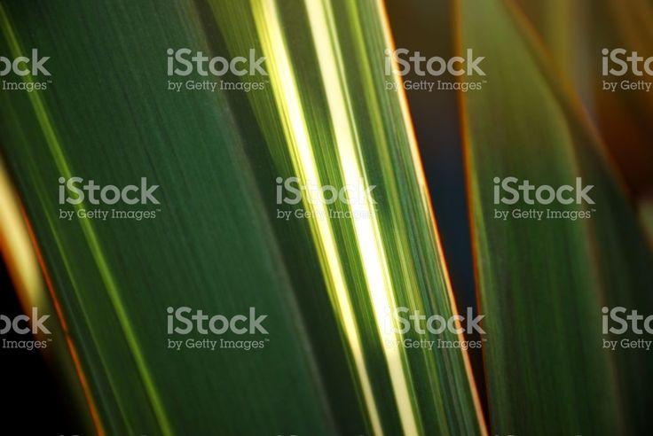 New Zealand Native Phormium Tenax (Harakeke) royalty-free stock photo