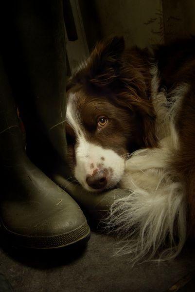 .: Border Collies, Animals, Dogs, Loyal Friend, Pet