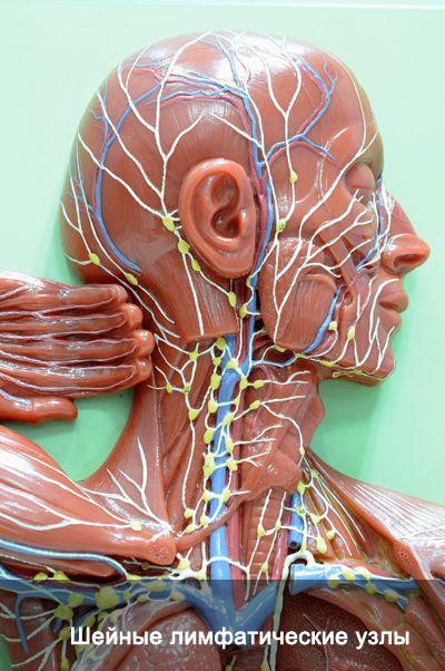 Лимфатическая система и ее функции