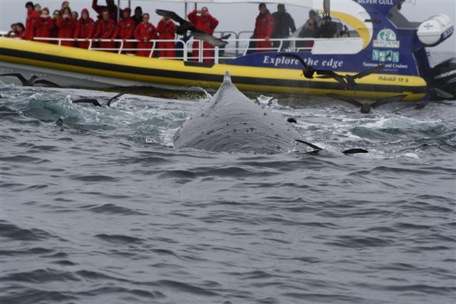 Whales, Tasman Peninsula