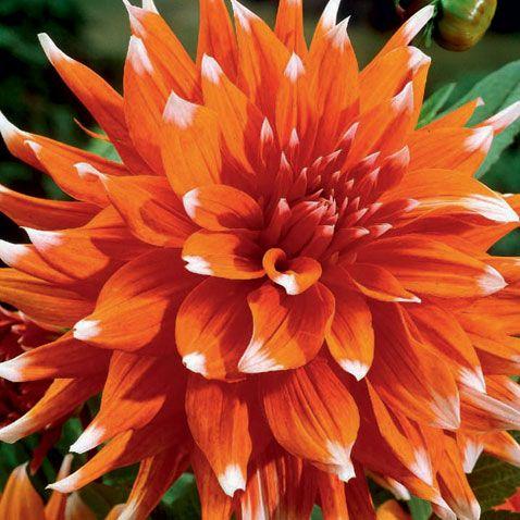 Dahlia-Color-Spectacle.jpg (478×478)