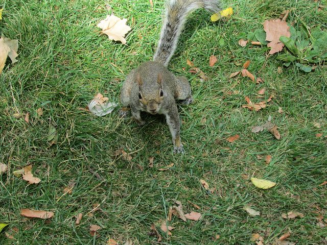 Wildlife of St. James's Park - This great squirrel was quite difficult to get a shot of but I captured it looking up towards me. This photo was taken in the wonderful St. James's Park near Buckingham Palace, one of the most beautiful and most peaceful places in the heart of the busy city.