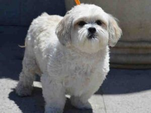 PRINCESS LIA – A1077440 FEMALE, CREAM, SHIH TZU MIX, 5 yrs OWNER SUR – ONHOLDHERE, HOLD FOR ID Reason PERS PROB Intake condition EXAM REQ Intake Date 06/14/2016, From NY 11421, DueOut Date 06/14/2016,