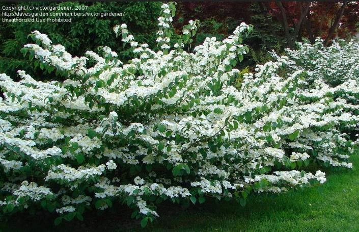 Viburnum Plicatum Var Tomentosum Summer Snowflake Our