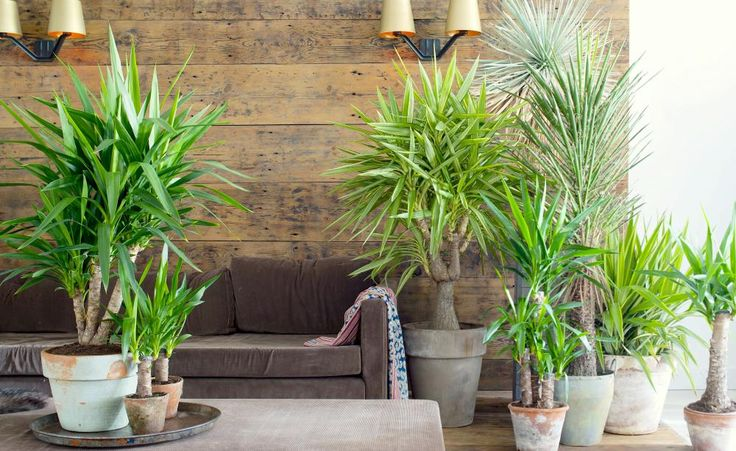 die besten 25 gro e zimmerpflanzen drinnen ideen auf pinterest gro e zimmerpflanzen tall. Black Bedroom Furniture Sets. Home Design Ideas