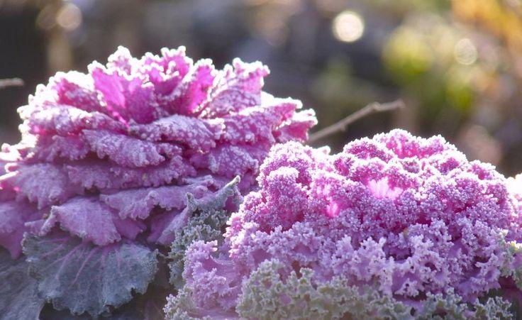 Der violette Zierkohl sieht im Winter-Beet nicht nur attraktiv aus, er ist auch essbar