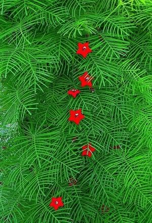 Cardinal or Cypress Vine. Ipomoea quamoclit. plant it once and you have it for a lifetime- it grows like a weed in Texas. If it goes where you don't want it, it is fairly easy to pull off. I love the vivid red against the brilliant green. Hummingbirds love it. by Hercio Dias