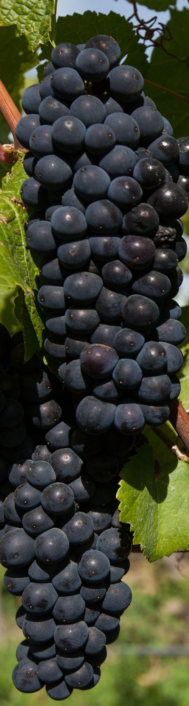 Here's what our PinotNoir looked before the 2014 harvest. This is from one of our Bendigo vineyards located in Central Otago wine country in the South Island of New Zealand.