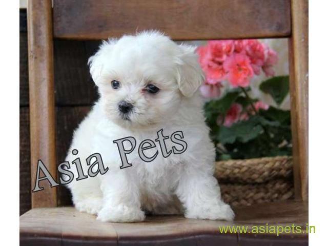 Tea Cup Maltese Puppy Sale In Kochi Price Maltese Puppy Maltese