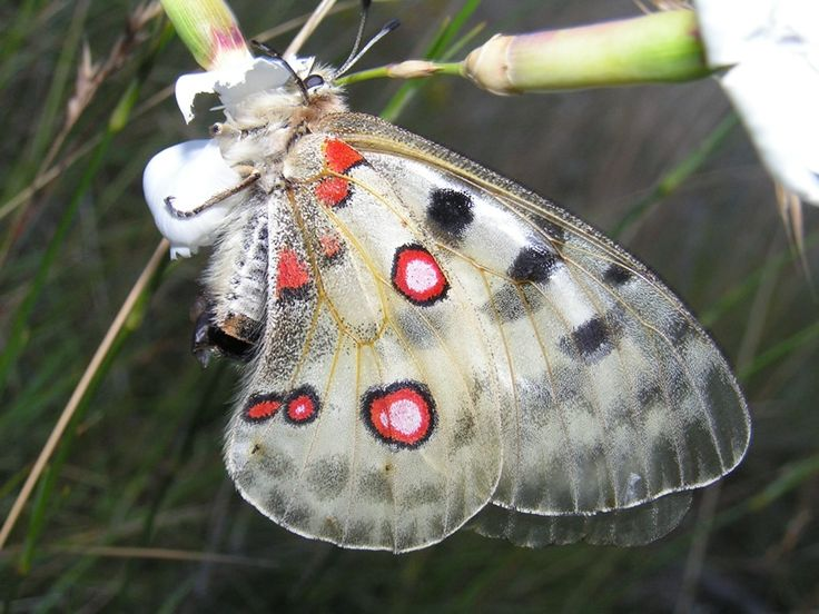 Apollo Butterfly (Parnassius Apollo). Europe and Asia.