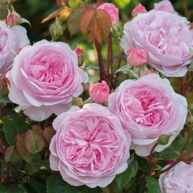 David Austin Roses - Bare root roses, Container roses, English Roses, Climbers, Ramblers - Buy online