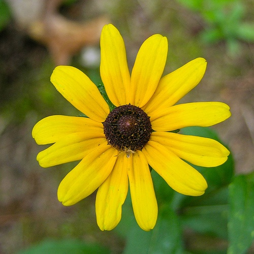 how to cut black eyed susan flower