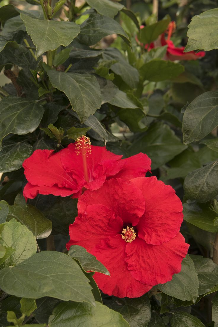 "Red Darling® Hibiscus is one of the best red hibiscus ever! A profuse bloomer, with velvety red flowers that have a creamy-coral reverse, accented by bright gold pollen. Glossy deep green foliage covers a vigorous upright form. Bred by Hiroshi ""Hiro"" Kuwabara. A frost-tender evergreen. Zone 10-11"