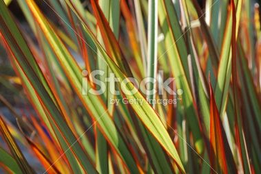 Sunlit Maori Queen Flax (Harakeke) Royalty Free Stock Photo